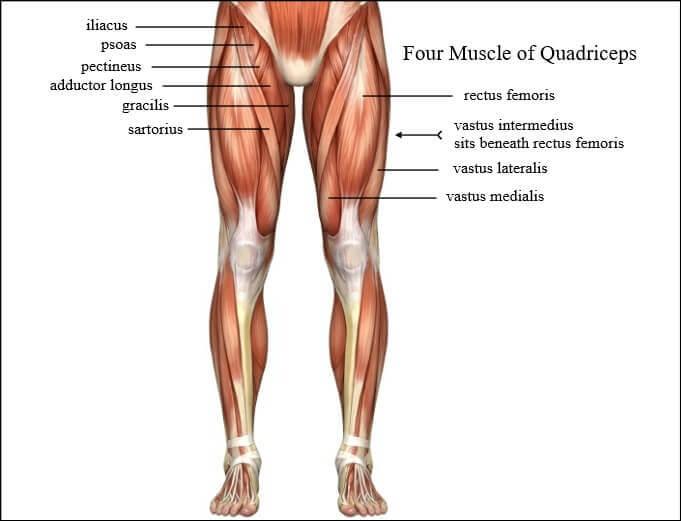 anatomy of quadriceps