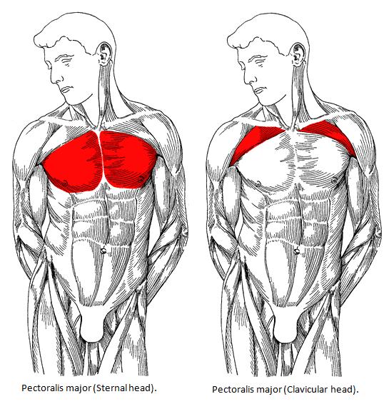 upper chest diagram