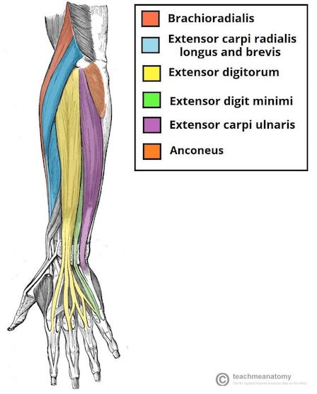anatomy of the forearm
