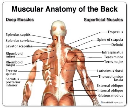 back muscle groups