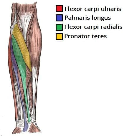 forearm anatomy extensor muscles