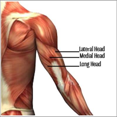triceps muscle breakdown
